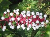 Actaea pachypoda (White Baneberry)