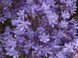 Agapanthus 'Misty Dawn' (Trumpet-Group)