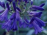 Agapanthus 'Purple Cloud' (Trumpet-Group)