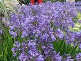 Agapanthus 'Sunfield' (Trumpet-Group)