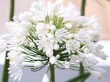 Agapanthus 'White Heaven' (Funnel-Group)