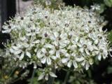 Allium nigrum LOS