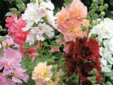 Alcea rosea Chater's Double Hybrids
