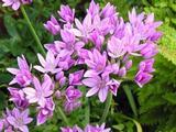 Allium uniflorum
