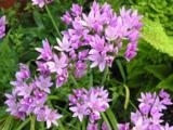 Allium uniflorum LOS