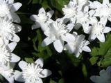 Anemone nemorosa 'Alba Plena' 1J