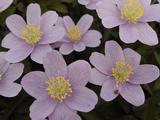 Anemone nemorosa 'Blue Beauty' 2J