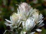 Antennaria dioica var. borealis
