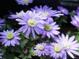 Anemone blanda 'Blue Shades' LOS