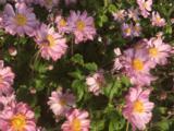 Anemone FANTASY ® 'Pocahontas' PBR
