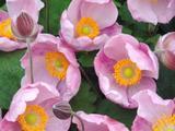 Anemone hupehensis 'Little Princess' PBR