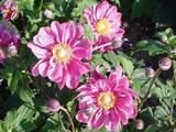 Anemone hybrida (x) 'Margarete'