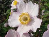 Anemone hybrida (x) 'Richard Ahrens'