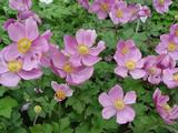 Anemone hybrida (x) 'Rosenschale'
