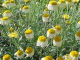 Anthemis hybrida (x) 'Sauce Hollandaise'