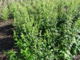 Artemisia lactiflora 'Elfenbein'