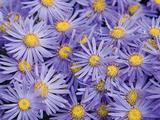 Aster amellus 'Blue King'