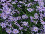 Aster cordifolius 'Blütenregen'