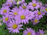 Aster frikartii (x) 'Flora's Delight'