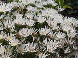 Aster ptarmicoides 'Mago'