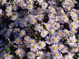 Aster ageratoides 'Stardust'