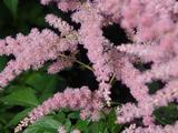 Astilbe 'Bressingham Beauty' (Arendsii-Group)