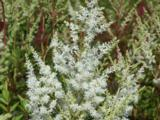 Astilbe 'Diamant' (Arendsii-Group)