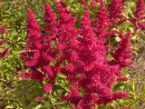Astilbe 'Fanal' (Arendsii-Group)