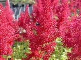 Astilbe 'Montgomery' (Japonica-Group)