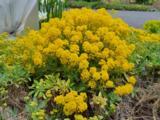 Aurinia saxatilis 'Goldkugel'