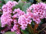 Bergenia FLOWER JOY ®