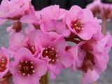 Bergenia cordifolia 'Herbstblüte'