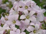 Campanula lactiflora 'Loddon Anna'