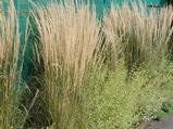Calamagrostis acutiflora (x) 'Overdam'