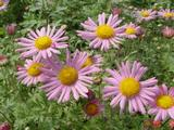 Chrysanthemum 'Clara Curtis' (Rubellum-Group)