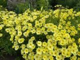 Coreopsis (x) 'Full Moon' PBR