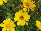 Coreopsis grandiflora 'Sunburst'