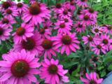 Echinacea tennesseensis'Amazing Dream'