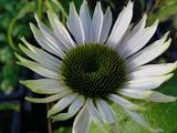 Echinacea purpurea 'Fragrant Angel' PBR