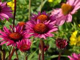 Echinacea purpurea 'Fatal Attraction' PBR