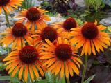 Echinacea purpurea 'Flame Thrower' PBR