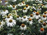 Echinacea purpurea 'Heavenly Dream' PBR