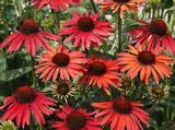 Echinacea purpurea 'Hot Summer' PBR