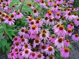 Echinacea purpurea 'Kim's Knee High' PBR