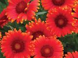 Gaillardia 'Red Sun' PBR