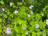 Geranium nodosum 'Svelte Lilac'