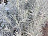 Helichrysum italicum  (CURRY)