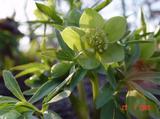 Helleborus odorus