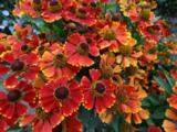 Helenium 'Red Jewel'