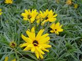 Helianthus salicifolius 'Table Mountain' PBR